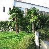 Trachycarpus20.jpg 1127 x 845 px 282.52 kB