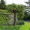 Trachycarpus24.jpg 615 x 820 px 153.83 kB