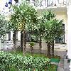Trachycarpus26.jpg 1095 x 821 px 267.37 kB