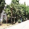 Trachycarpus27.jpg 1095 x 821 px 275.36 kB