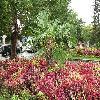 Trachycarpus8.jpg 1086 x 815 px 310.8 kB