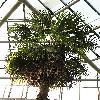 TrachycarpusExcelsa2.jpg 768 x 1024 px 229.84 kB