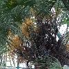 TrachycarpusExcelsa3.jpg 1024 x 768 px 243.09 kB