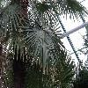 TrachycarpusExcelsa4.jpg 1024 x 768 px 222.28 kB