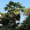 TrachycarpusFortunei2.jpg 615 x 820 px 158.87 kB