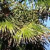 TrachycarpusFortunei3.jpg 615 x 820 px 196.32 kB