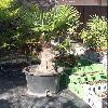TrachycarpusFortunei6.jpg 540 x 720 px 141 kB