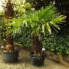TrachycarpusFortunei7.jpg 779 x 900 px 386.84 kB