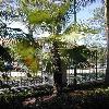 TrachycarpusMartianus.jpg 375 x 500 px 47.84 kB