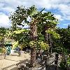 TrachycarpusWagnerianus.jpg 720 x 960 px 434.73 kB