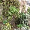 Trachycarpus.jpg 1127 x 845 px 324.93 kB