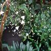 TripogandraMultiflora2.jpg 1024 x 768 px 145.63 kB