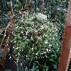 TripogandraMultiflora.jpg 681 x 908 px 354.13 kB