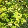 TripterygiumRegelii.jpg 678 x 908 px 367 kB