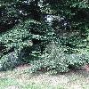 TsugaDiversifolia2.jpg 681 x 908 px 483.86 kB