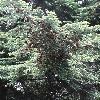 TsugaDiversifolia3.jpg 681 x 908 px 461.07 kB