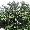 TsugaDiversifolia.jpg 681 x 908 px 438.26 kB
