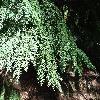 TsugaHeterophylla2.jpg 1219 x 914 px 422.17 kB