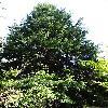 TsugaHeterophylla.jpg 681 x 908 px 256.76 kB