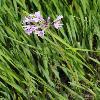 TulbaghiaViolacea.jpg 600 x 900 px 372.89 kB