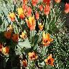 Tulipa2.jpg 1127 x 845 px 234.8 kB