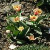TulipaGreigiiLadyDiana.jpg 638 x 850 px 164.38 kB