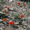TulipaGreigii.jpg 532 x 800 px 361.1 kB