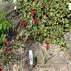 TulipaHageri.jpg 1024 x 768 px 329.67 kB