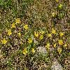 TulipaHeterophylla3.jpg 1200 x 797 px 574.8 kB