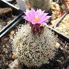 TurbinicarpusKnuthianus.jpg 870 x 851 px 133.1 kB
