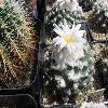 TurbinicarpusLophophoroides.jpg 640 x 480 px 159.8 kB
