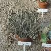 TylecodonBuchholzianus.jpg 1024 x 768 px 278.69 kB