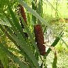 TyphaAngustifolia5.jpg 576 x 768 px 115.31 kB