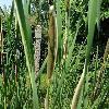 TyphaAngustifolia7.jpg 681 x 908 px 212.15 kB