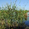TyphaAngustifolia.jpg 1024 x 768 px 340.82 kB