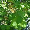 UlmusGlabra2.jpg 720 x 960 px 357.38 kB
