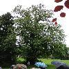 UlmusLaevis4.jpg 681 x 908 px 229.13 kB