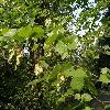 UlmusMinor4.jpg 1120 x 840 px 263.42 kB