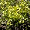 UlmusParvifolia2.jpg 1024 x 768 px 281.34 kB