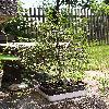 UlmusParvifolia6.jpg 615 x 820 px 204.17 kB