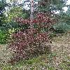 ViburnumBetulifolium3.jpg 720 x 960 px 554.9 kB