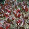 ViburnumBetulifolium4.jpg 1024 x 768 px 233.58 kB