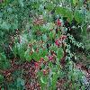 ViburnumBetulifolium6.jpg 1024 x 768 px 244.15 kB