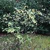 ViburnumBuddleifolium.jpg 720 x 960 px 537.23 kB