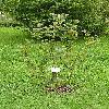 ViburnumCarlesii.jpg 576 x 768 px 179.96 kB