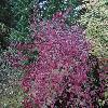 ViburnumDentatumLucidum.jpg 1024 x 768 px 310.27 kB