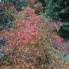 ViburnumDilatatumCatskill.jpg 1024 x 768 px 302.99 kB