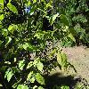 ViburnumLantanoides2.jpg 1024 x 768 px 276.81 kB