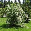 ViburnumOpulusRoseum.jpg 1024 x 768 px 350.73 kB