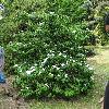 ViburnumPlicatum.jpg 1024 x 835 px 368.68 kB